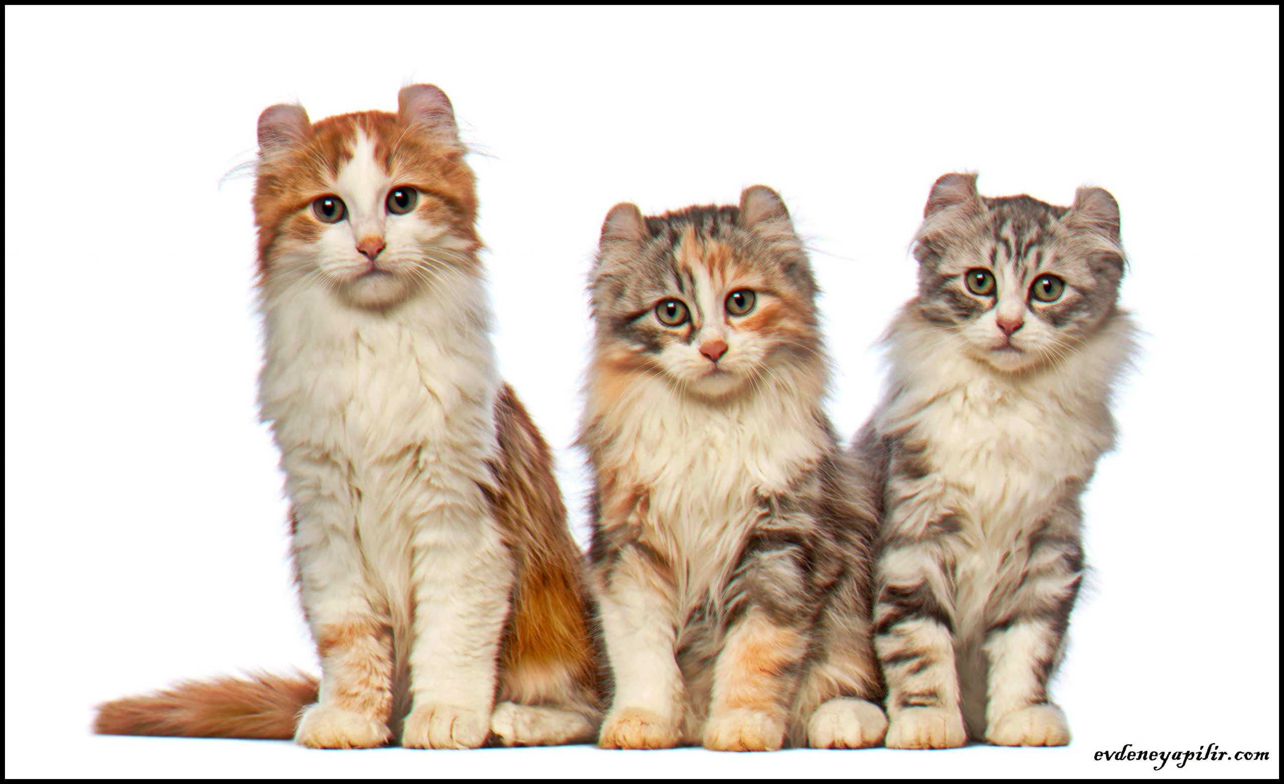 American Curl Cat - Amerikan Curl Kedisi