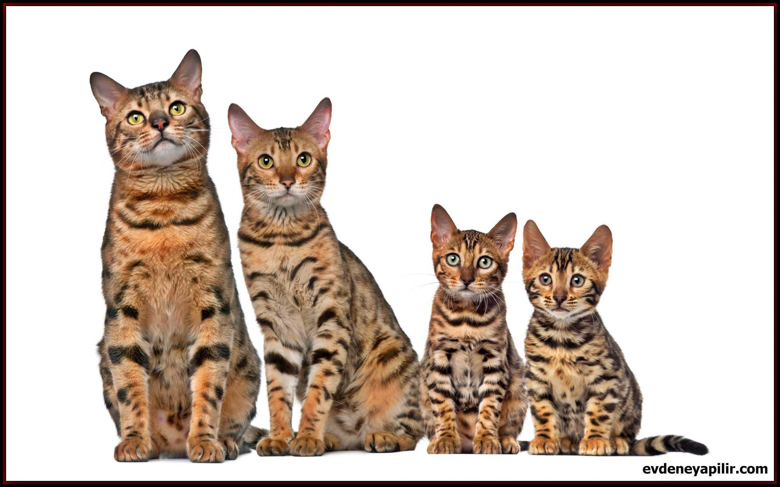 Bengal Cat - Bengal Kedisi
