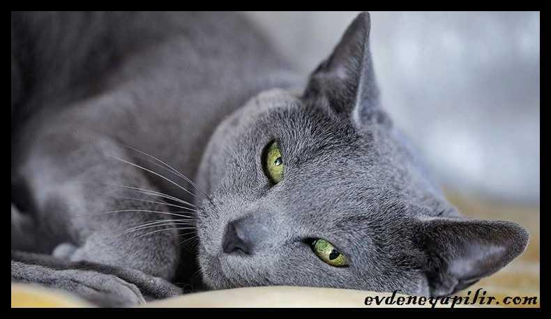 Russian Blue Cat - Mavi Rus Kedisi