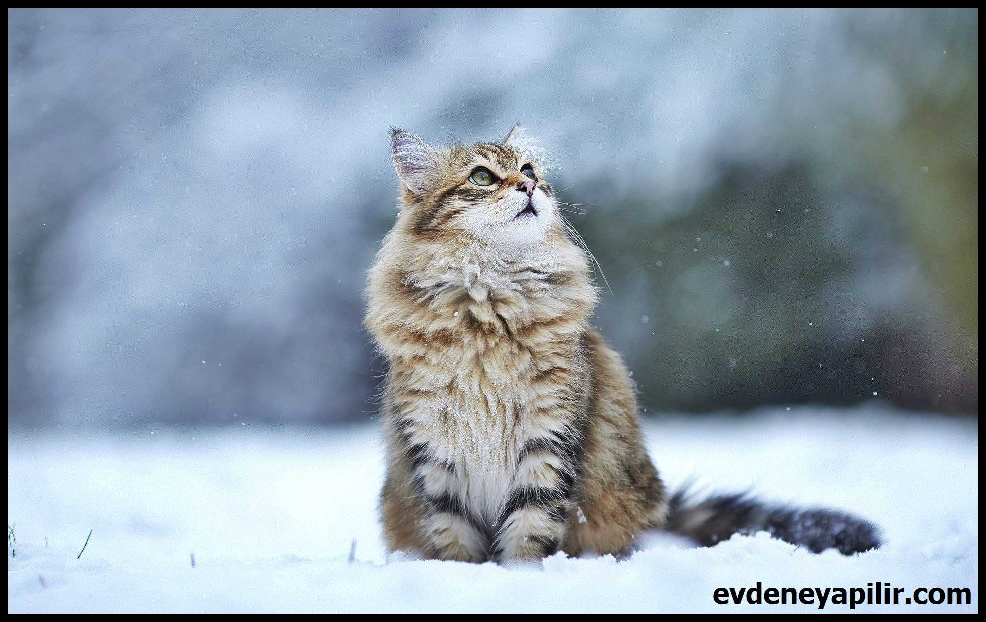 Siberian Cat - Sibirya Kedisi