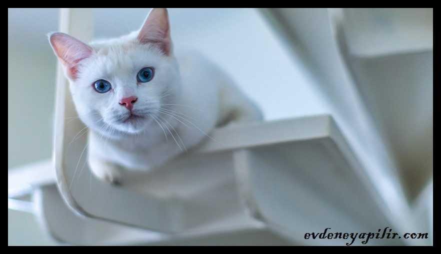 Turkish Angora Cat - Ankara Kedisi
