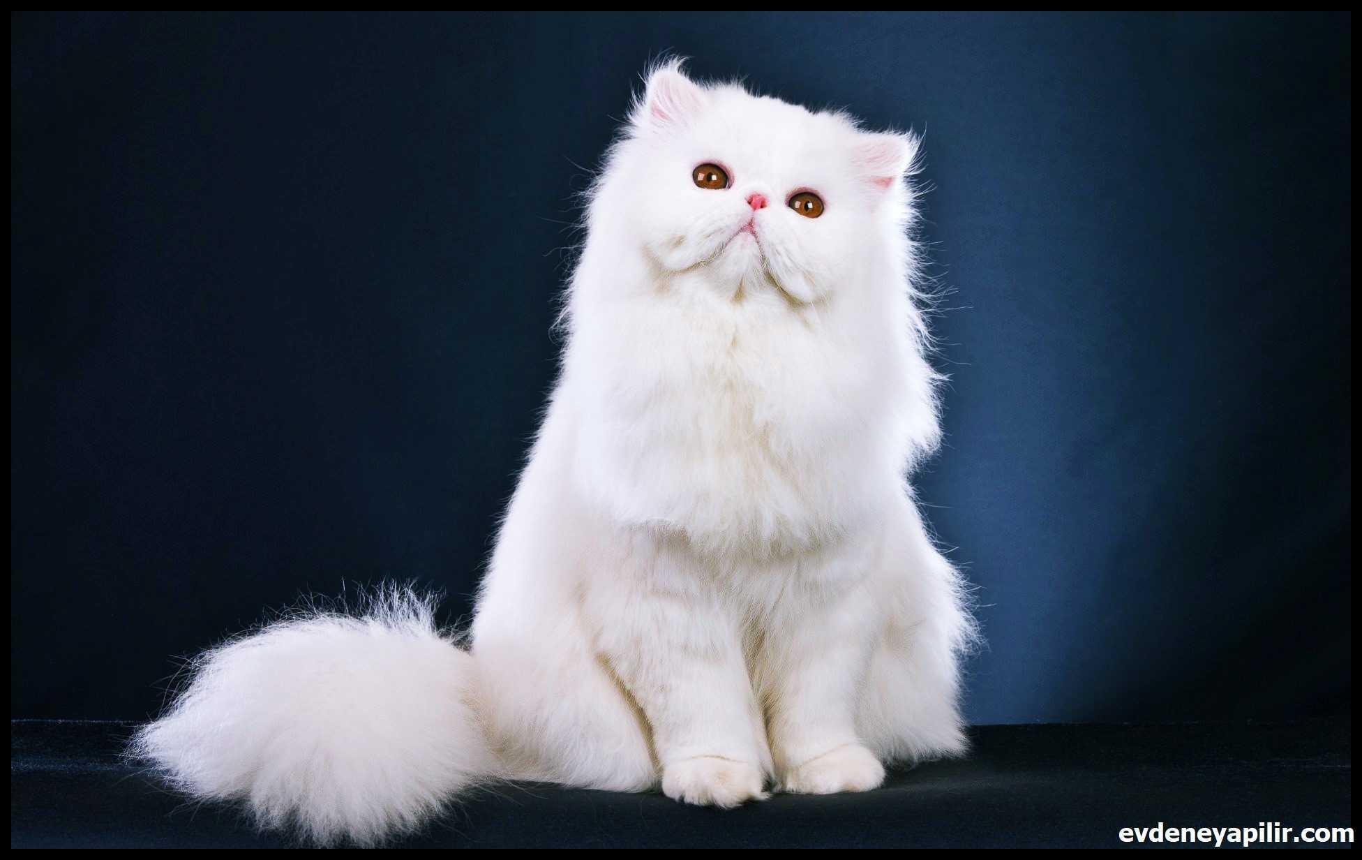 Persian Cat - İran (Fars) Kedisi